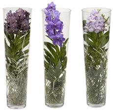 Orchidee in vaso tutto per lei for Cura orchidee in vaso