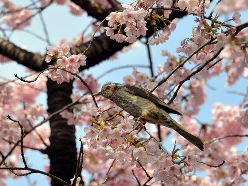 Fukushima abitanti piantano sulla costa alberi di for Albero ciliegio