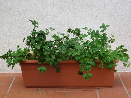 Come coltivare in casa le erbe aromatiche tutto per lei - Erbe aromatiche in casa ...