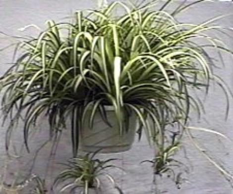 Le piante da appartamento semplici da curare tutto per lei - Edera da interno ...