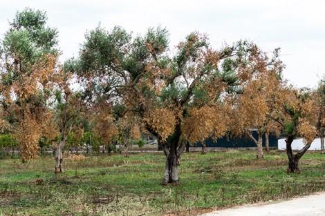 Ιταλία :8.000 στρ ελαιοδένδρων έχουν προσβληθεί από τον Xylella fastidiosa