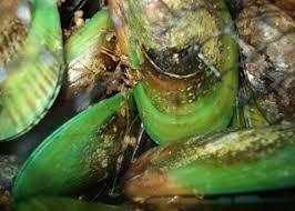 cozze asiatiche verdi