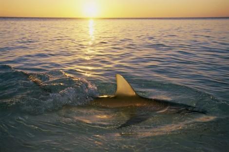 squalo in mare