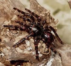 ragno dalla ragnatela a imbuto