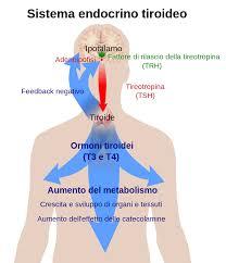 tiroide e funzionamento