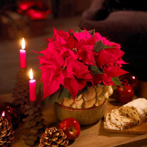 Centrotavola Stella Di Natale.Stella Di Natale Consigli Per Farla Sopravvivere Dopo Le Feste